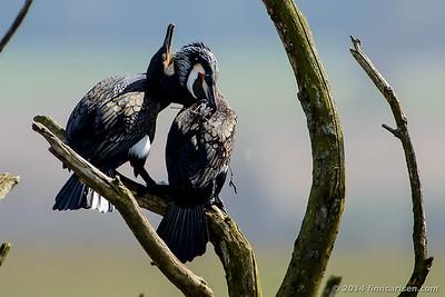 Skarv - Phalacrocorax carbo - Great Cormorant