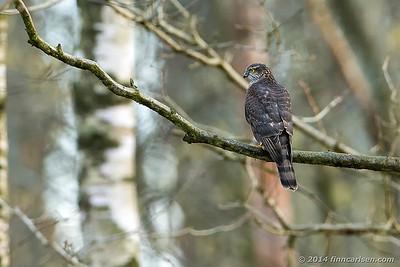 Spurvehøg (Accipiter nisus - Sparrowhawk)