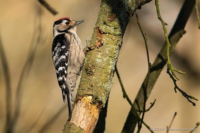 Lille flagspætte (Dendrocopus minor - Lesser Spotted Woodpecker)
