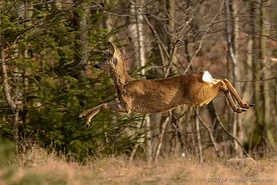 Rådyr (Capreolus capreolus - Roe Deer)