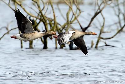 Grågås - Anser Anser - Greylag Goose