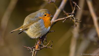 Rødhals - Erithacus rubecula - European robin