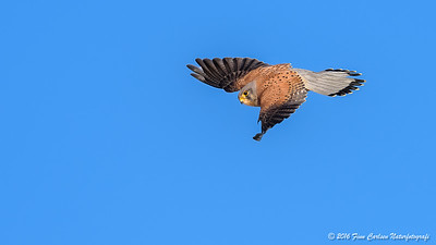 Tårnfalk - Falco tinnunculus - Common Kestrel