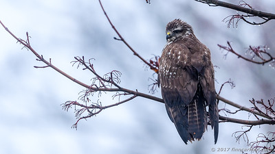 Musvåge - Buteo buteo - Common Buzzard
