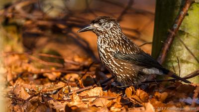 Nøddekrige - Nucifraga caryocatactes - Spotted Nutcracker