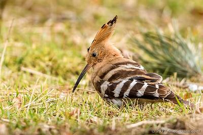 Hærfugl - Upupa epops - Hoopoe