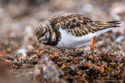 Stenvender - Arenaria interpres - Ruddy turnstone