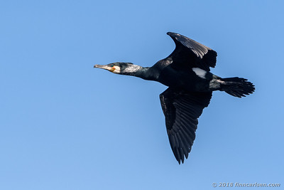 Skarv - Phalacrocorax carbo - Great Cormorant