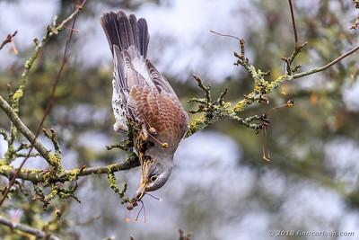 Sjagger - Turdus pilaris - Fieldfare