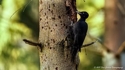 Sortspætte - Dryocopus martius - Black Woodpecker