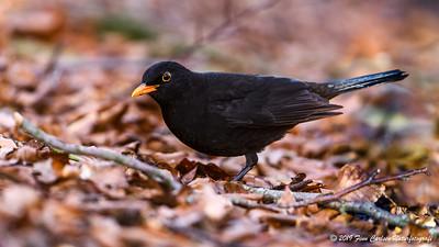 Solsort - Turdus merula - Blackbird