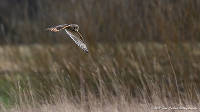 Mosehornugle - Asio flammeus - Short-eared Owl