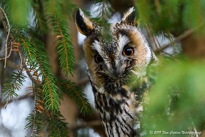 Skovhornugle - Asio otus - Long-eared Owl