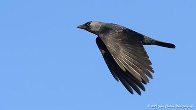 Allike - Corvus monedula - Western jackdaw