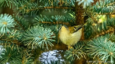 Rødtoppet fuglekonge - Regulus ignicapilla - Common Firecrest