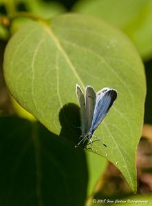Skovblåfugl - Celastrina argiolus - Holly blue