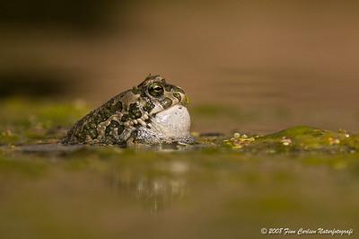 Grønbroget tudse - Bufo viridis - European green toad