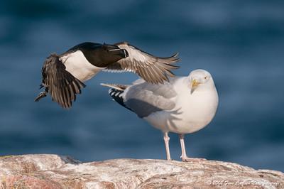 Alk (Alca torda - Razorbill) og Sølvmåge (Larus argentatus - Herring gull)