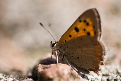 Lille ildfugl - Lycaena phlaeas - Small copper