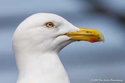 Sølvmåge (Larus argentatus - Herring gull)