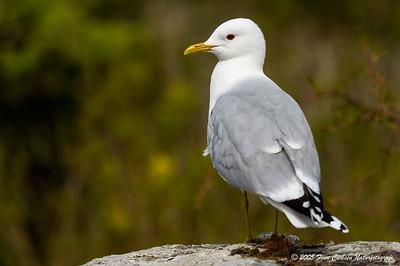 Stormmåge - Larus canus - Common gull