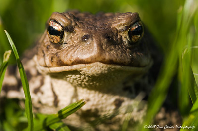 Skrubtudse - Bufo bufo - Common toad