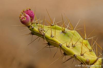 Kaktus, Las Penitas, Fuerteventura - mar. 2012