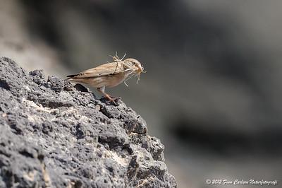 Ørkendompap (Bucanetes githagineus - Trumpeter Finch) hun med redemateriale, Fuerteventura - mar. 2012