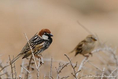 Spansk spurv (Passer hispaniolensis - Spanish Sparrow), han og hun, Fuerteventura - mar. 2012