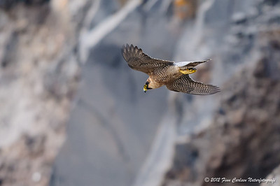 Berberfalk (Falco pelegrinoides - Barbary Falcon), i flugt, Fuerteventura - apr. 2012
