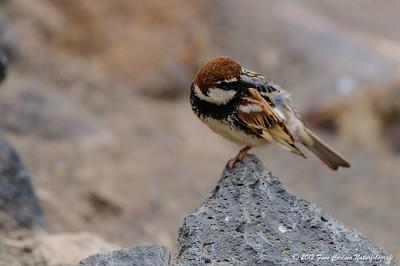 Spansk spurv (Passer hispaniolensis - Spanish Sparrow), han der klør sig, Fuerteventura - mar. 2012