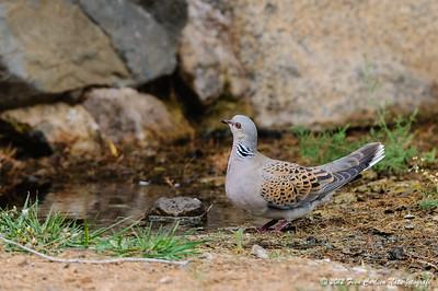 Turteldue (Streptopelia turtur - Turtle Dove), Las Penitas, Fuerteventura - mar. 2012
