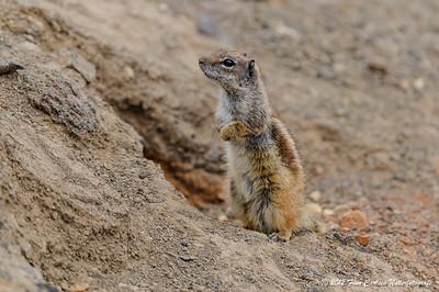 Berber jordegern (Atlantoxerus getulus - Barbary Ground Squirrel) på vagt, Fuerteventura - mar. 2012