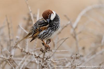 Spansk spurv (Passer hispaniolensis - Spanish Sparrow), han der soignerer sig, Fuerteventura - mar. 2012