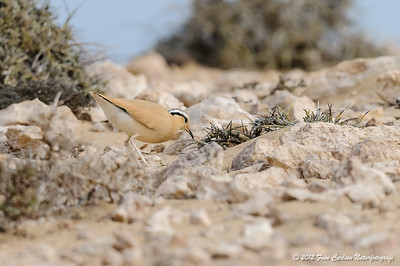 Ørkenløber (Cursorius cursor bannermani - Cream-coloured Cursor) , der fouragerer, La Pared, Fuerteventura - mar. 2012