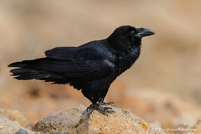 Ravn (Corvus corax - Common Raven) , Fuerteventura - mar. 2012