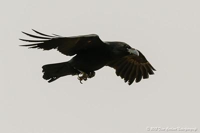 Ravn (Corvus corax - Common Raven) i flugt, Fuerteventura - mar. 2012
