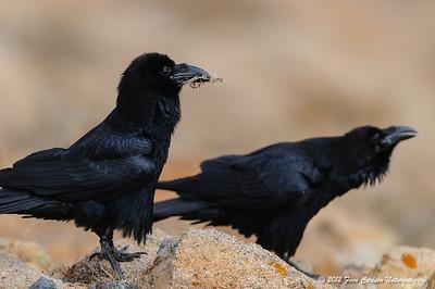 Ravn (Corvus corax - Common Raven) par der kurtiserer, Fuerteventura - mar. 2012