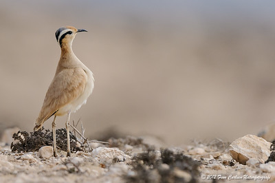 Ørkenløber (Cursorius cursor bannermani - Cream-coloured Cursor) , La Pared, Fuerteventura - mar. 2012