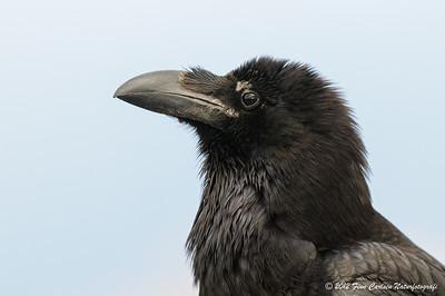 Ravn (Corvus corax - Common Raven) portræt, Fuerteventura - mar. 2012