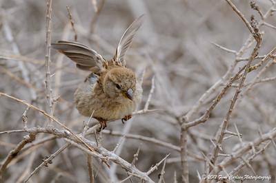 Spansk spurv (Passer hispaniolensis - Spanish Sparrow), hun der strækker vingerne, Fuerteventura - mar. 2012