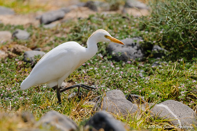 Kohejre (Bubulcus ibis - Cattle Egret), fouragerende, Morro Jable, Fuerteventura - mar. 2012