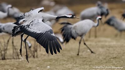 Trane - Grus grus - Common Crane