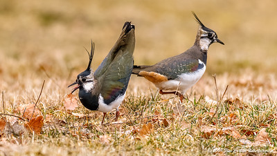 Vibe - Vanellus vanellus - Lapwing
