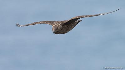 Storkjove (Stercorarius skua - Great skua)