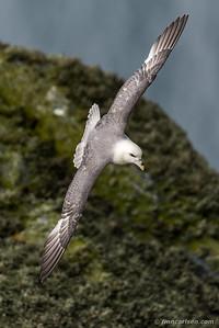 Mallemuk - Fulmarus glacialis - Northern fulmar