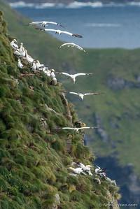Suler (Morus bassanus - Northern gannet)