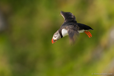 Lunde (Fratercula arctica - Atlantic puffin)