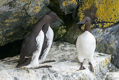 Lomvier (Uria aalge - Common murre)