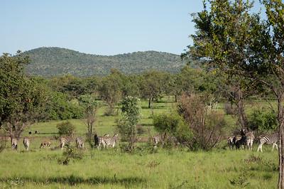 Zebraer, Mabula Game Reserve, Limpopo, Sydafrika